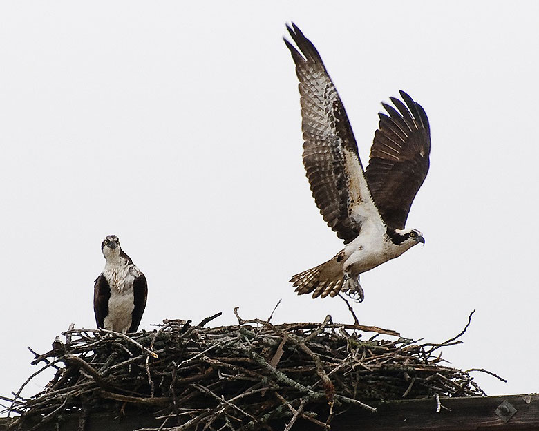 Accelerator Division's Greg Vogel submitted this photo of an Osprey pair, which have returned to nest for a third year near the Main Injector.