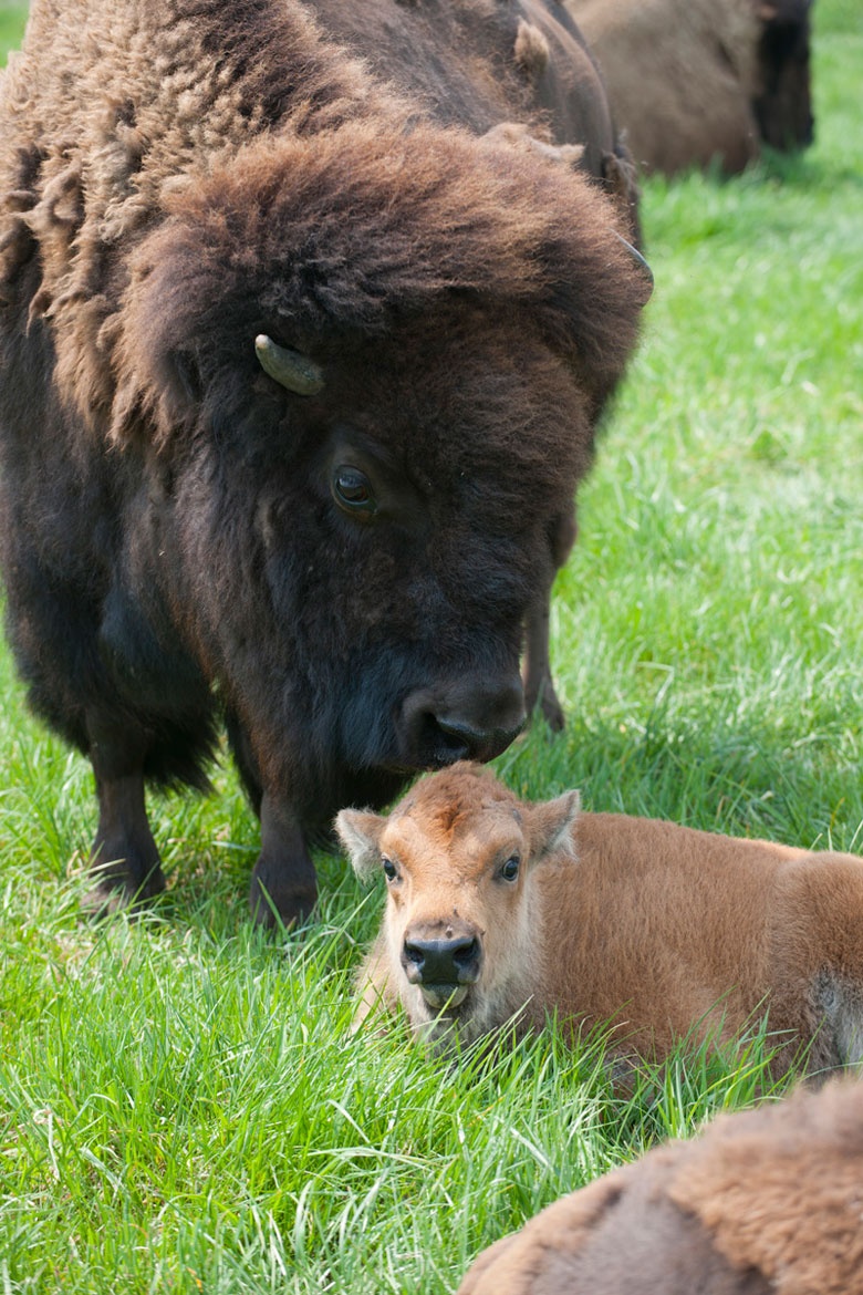 A protective mother bison stands over her calf. The calf was born on April 21 and is the herd's first baby bison born so far this year. Photo: Reidar Hahn