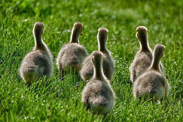 A gaggle of baby geese waddles away from the photographer. Photo: Reidar Hahn.