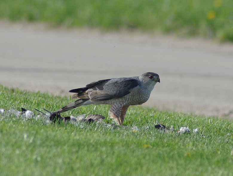 This Cooper's hawk was seen near the corner of Road A and Wilson streets just after finishing its pigeon dinner. Photo: Barb Kristen