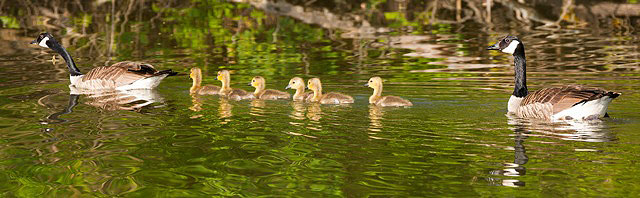 Swimming single file, a family of geese passes by. Photo: Reidar Hahn.