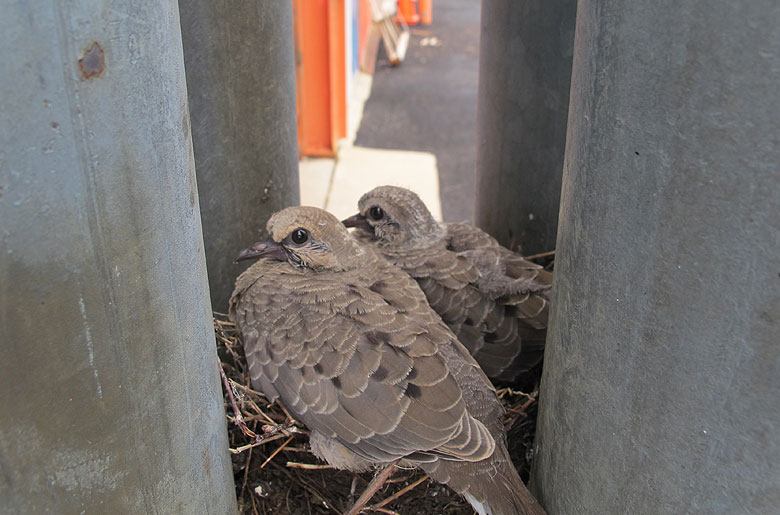 John Sachtschale took a photo of these mourning doves by the south wall of Industrial Building 3. The mother hen, who was heard cooing in the ivy on the north wall of the Industrial Center Building, was likely off gathering lunch for her chicks. Credit: John Sachtschale, TD.