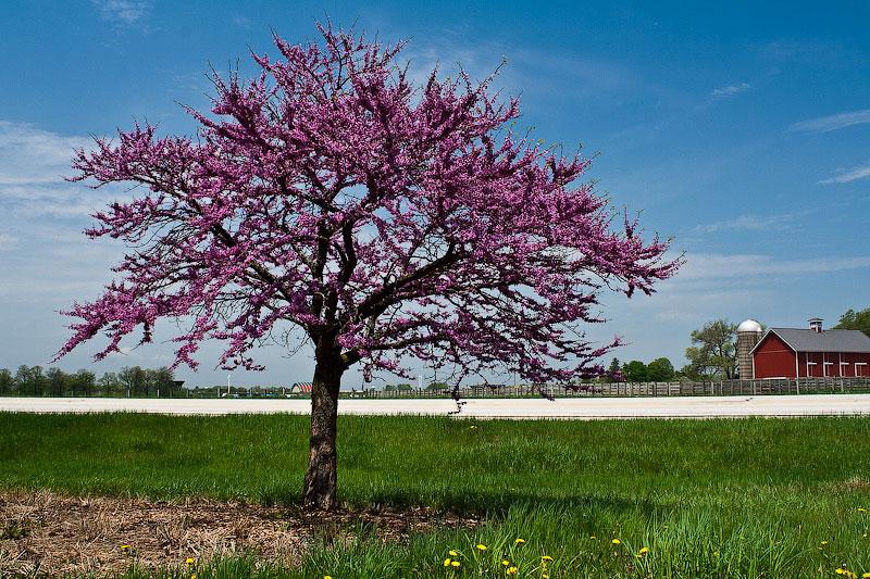 TD's Alexey Naumov spotted this flowering tree on the left side of the road while driving from the east Fermilab site entrance. Credit: Alexey Naumov.
