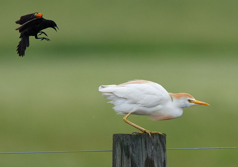 A red-winged blackbird chases a cattle egret near Batavia road at the bison enclosure on June 9. They seem to be enjoying the newly formed lakes that resulted from the heavy rain that week. Photo: Gene Oleynik, CD