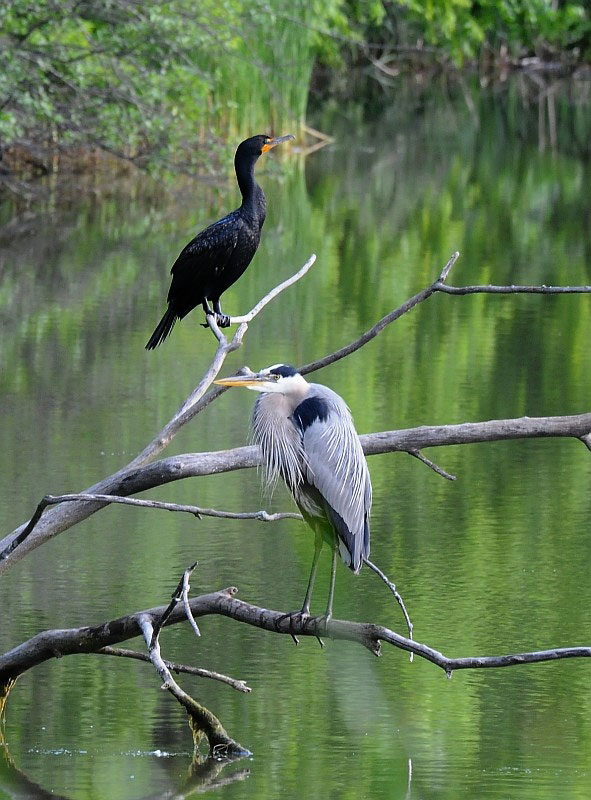 A cormorant and a blue heron hang out by Swan Lake on June 13. Photo: Greg Vogel, AD