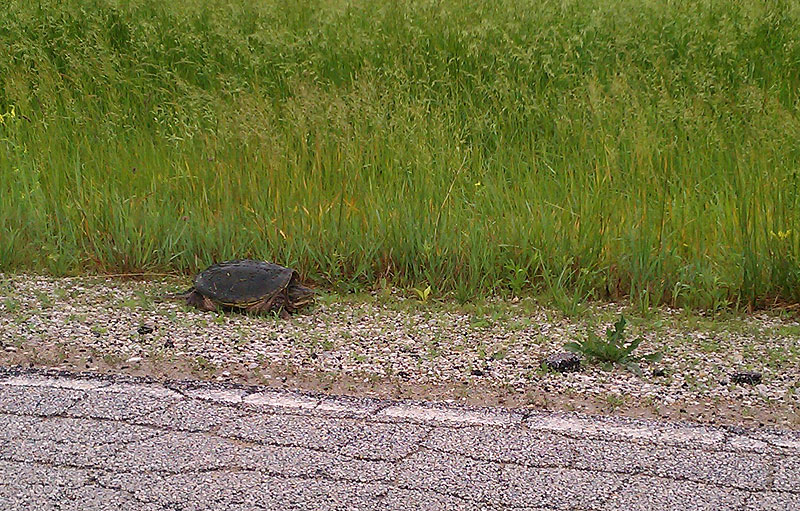 BSS employee Julius Borchert spotted this snapping turtle walking along Swenson Road near Eola Road.