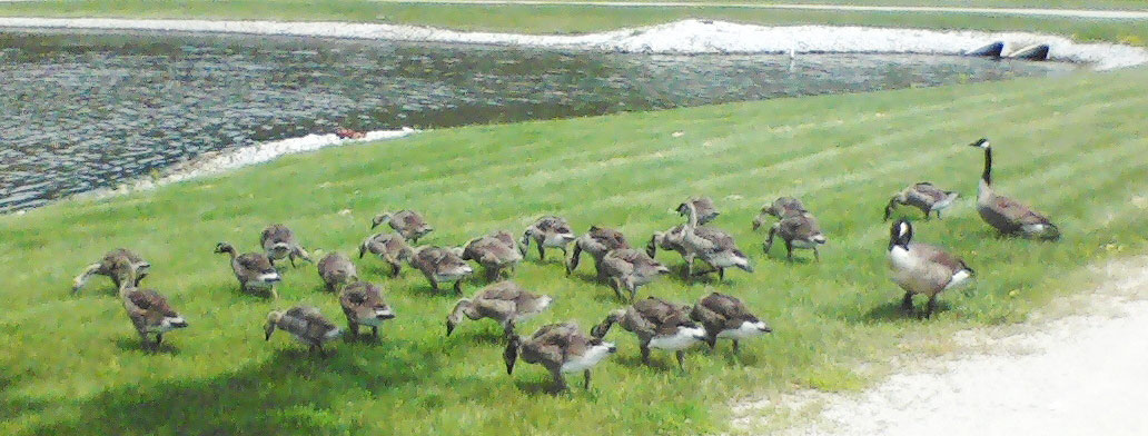 This gaggle of geese – 26 in total – enjoy a nice sunny day on the west side of the Reflecting Pond on June 9. Photo: David Huffman, PPD