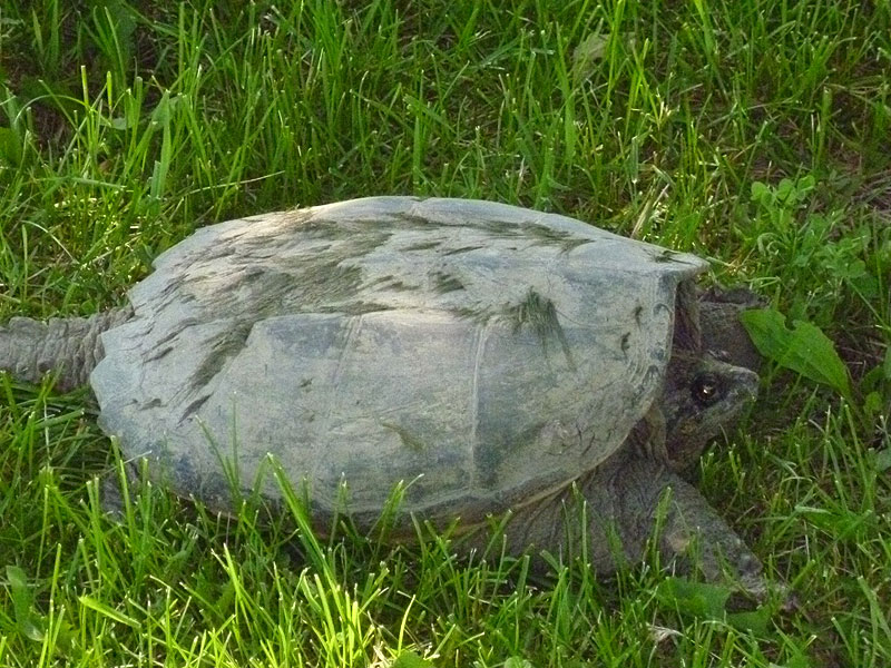 This snapping turtle was spotted at Site 52 on June 1. Snapping turtles can live to be 40 years old. Photo: Lori Limberg, BSS