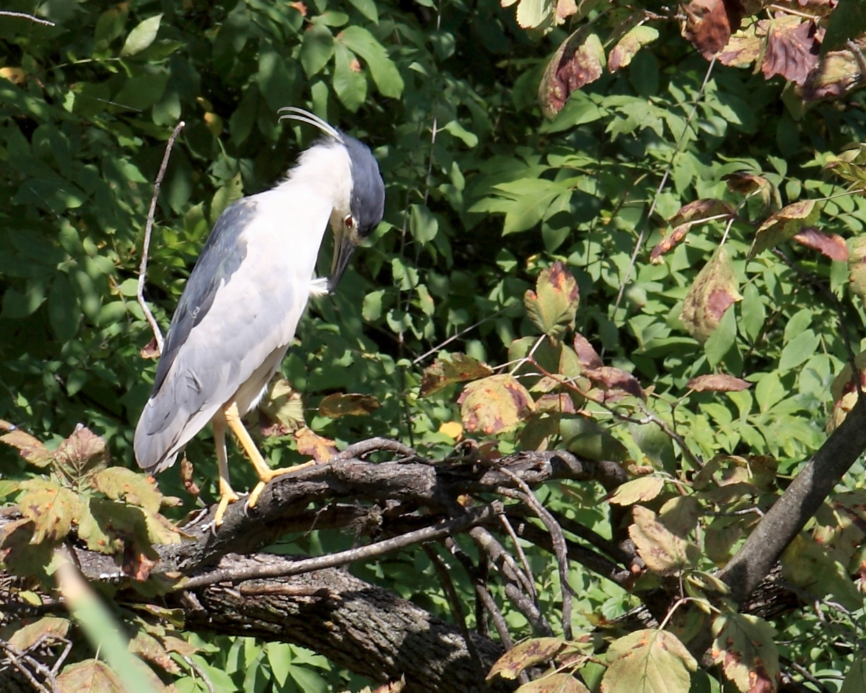 A black crowned night heron was caught doing some daylight grooming near the bridge by the Lederman Science Center. Photo: Leticia Shaddix, PPD