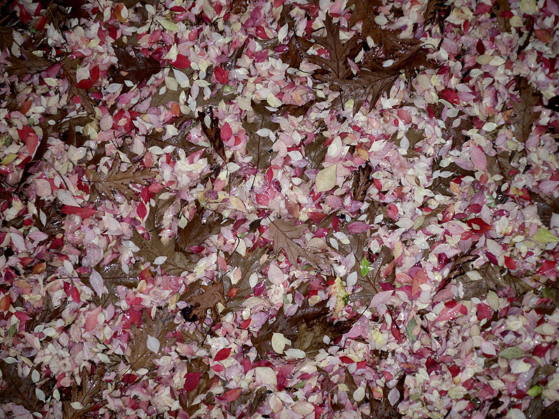 Petals and leaves mix on the ground behind Wilson Hall to create a colorful pattern. Photo: Pat Sheahan, AD
