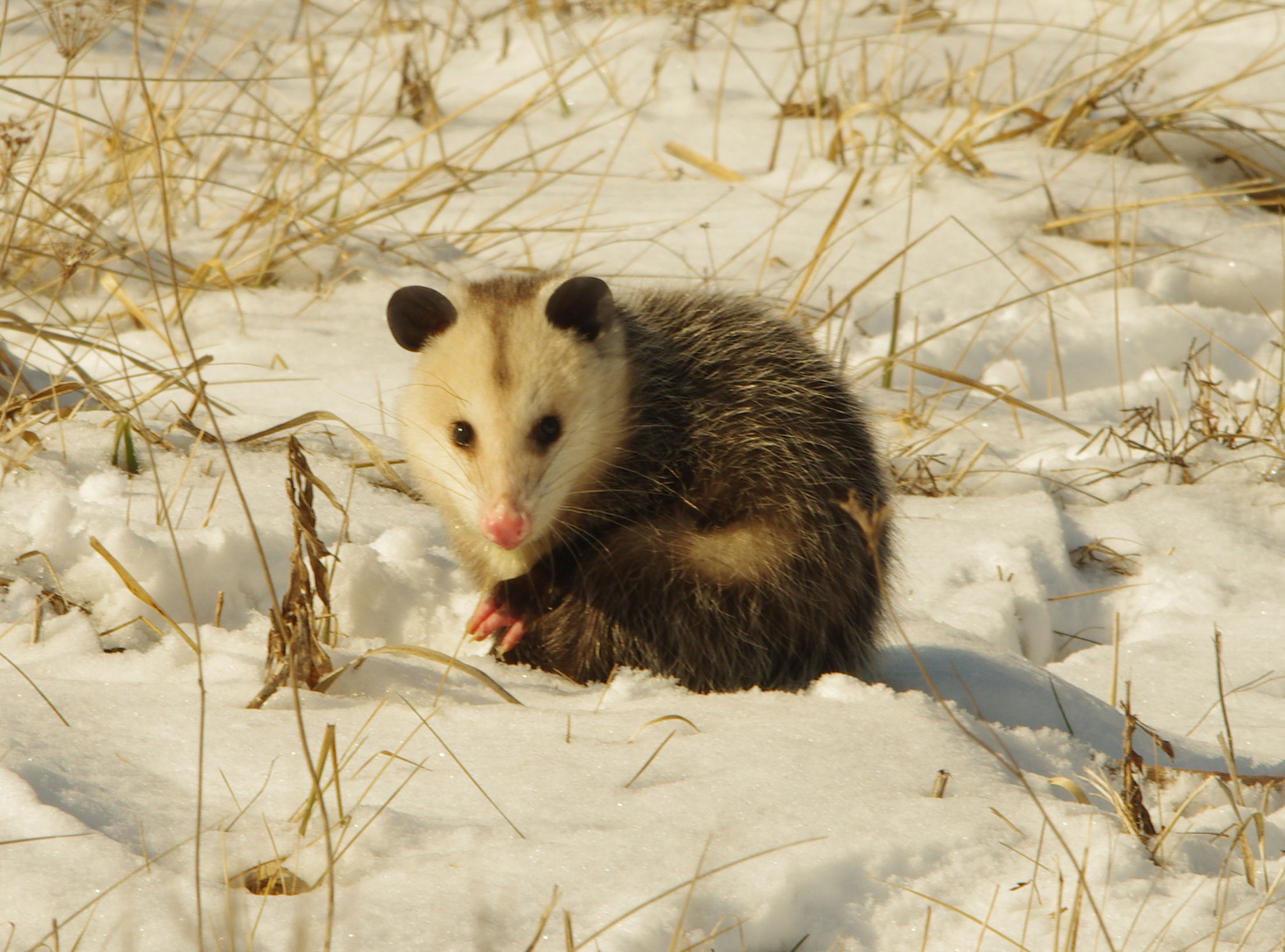 An opossum sits tight near the Main Injector. Photo: Dan Johnson