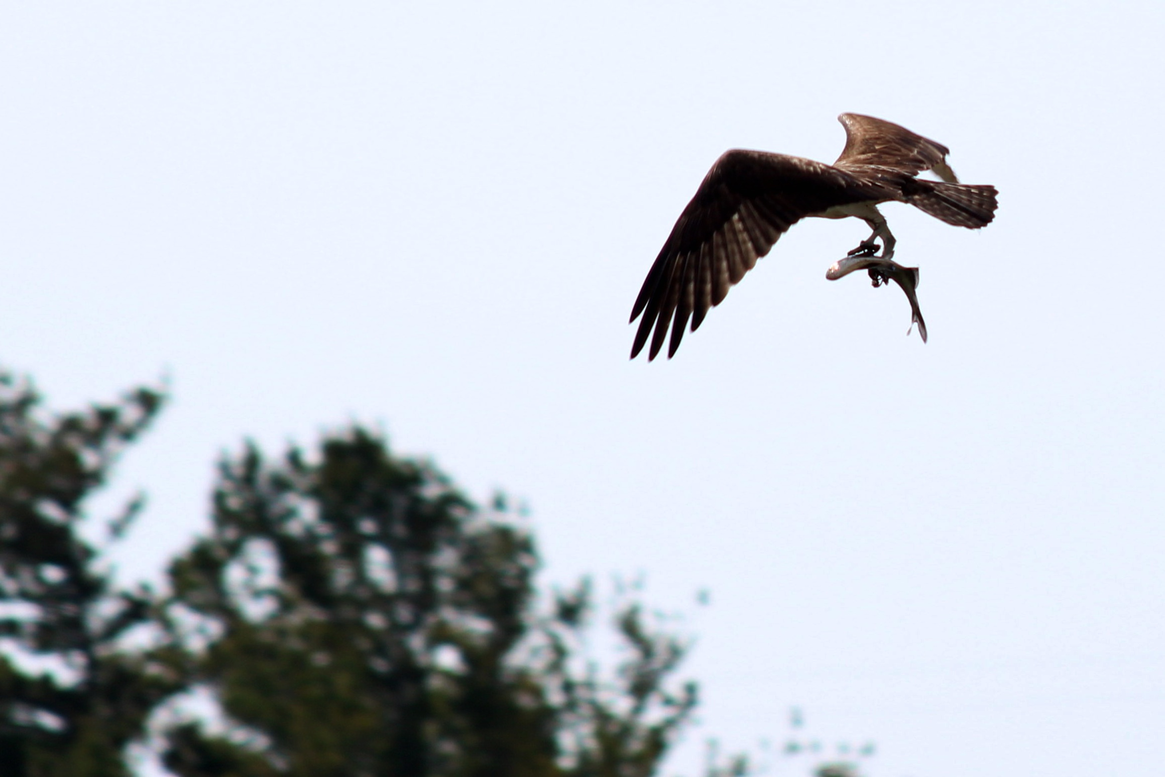 Birds of prey are here to stay. An osprey helps balance the ecosystem, taking a fish from a little pond created by the last  heavy rain near the horse stables close to DZero. Photo: Jesus Orduna, Rice University