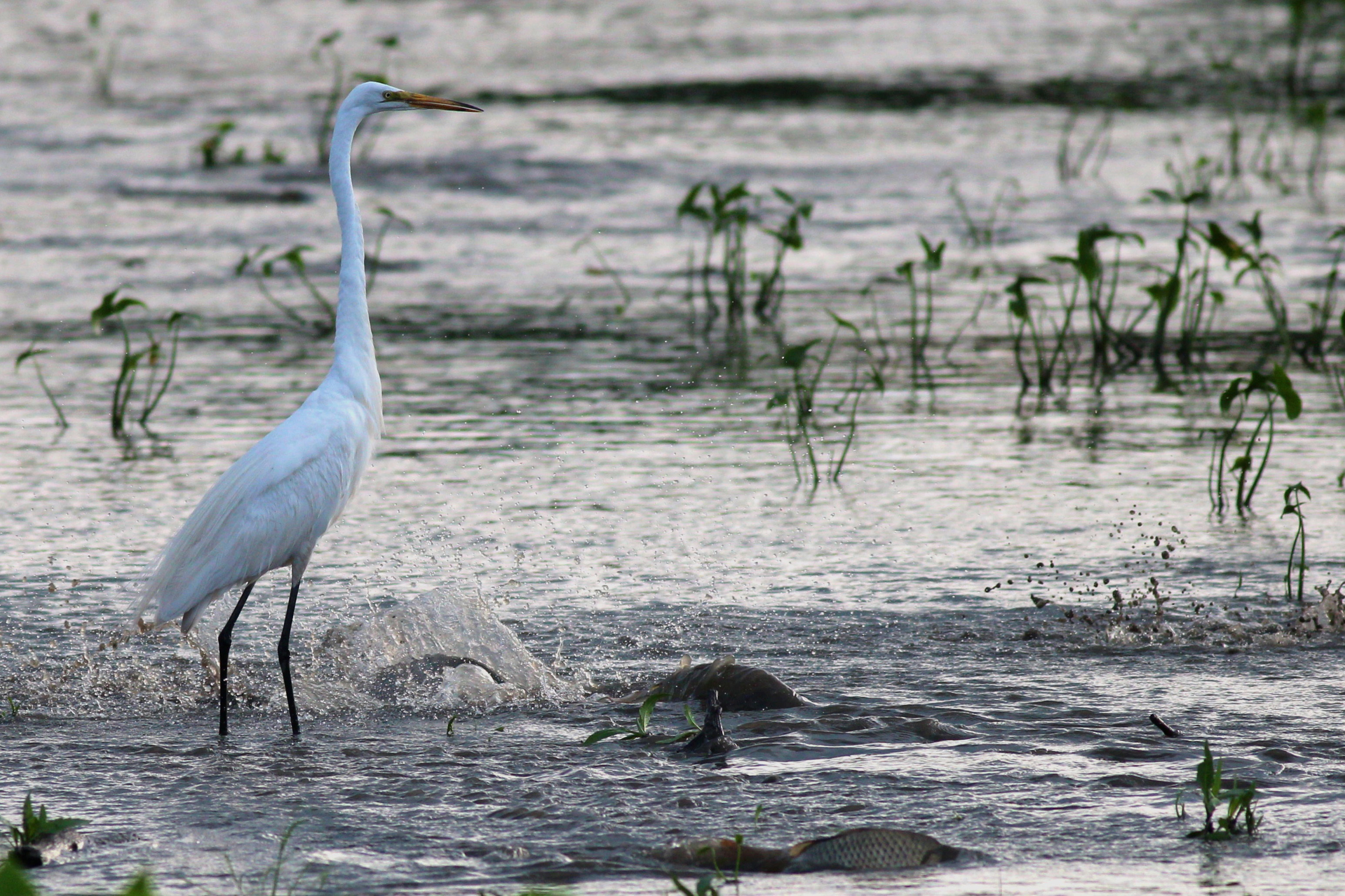 This egret doesn't go for the easy prey. It stands idly—so perhaps mercifully—by as nearby fish struggle to get to deeper waters at the connection between the two small ponds by the east entrance. Photo: Jesus Orduna, Rice University