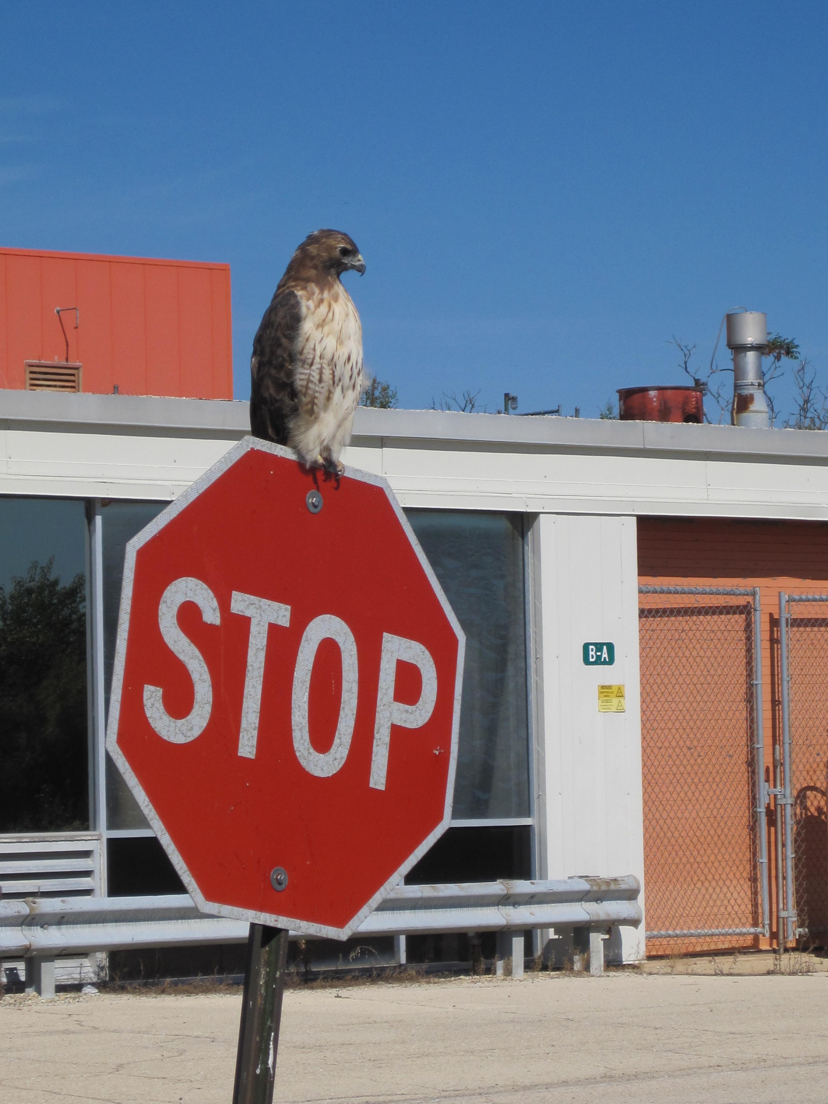 A hawk makes a rest stop on a Fermilab stop sign. Photo: Eric Mieland, ESH&Q