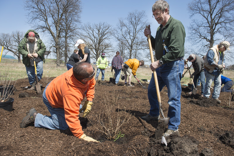 More than 50 volunteers planted native shrubs and trees along Road C for the annual Fermilab Arbor Day event on Tuesday. Photo: Reidar Hahn
