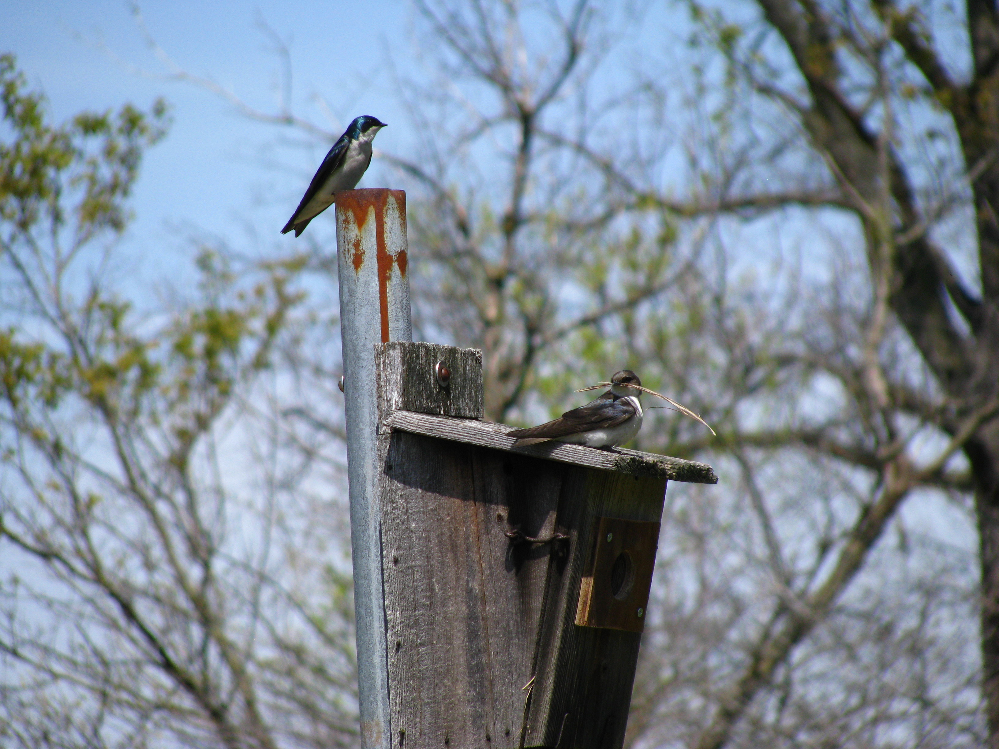Tree swallows spruce up their home in Big Woods. Photo: Sue Quarto, FESS