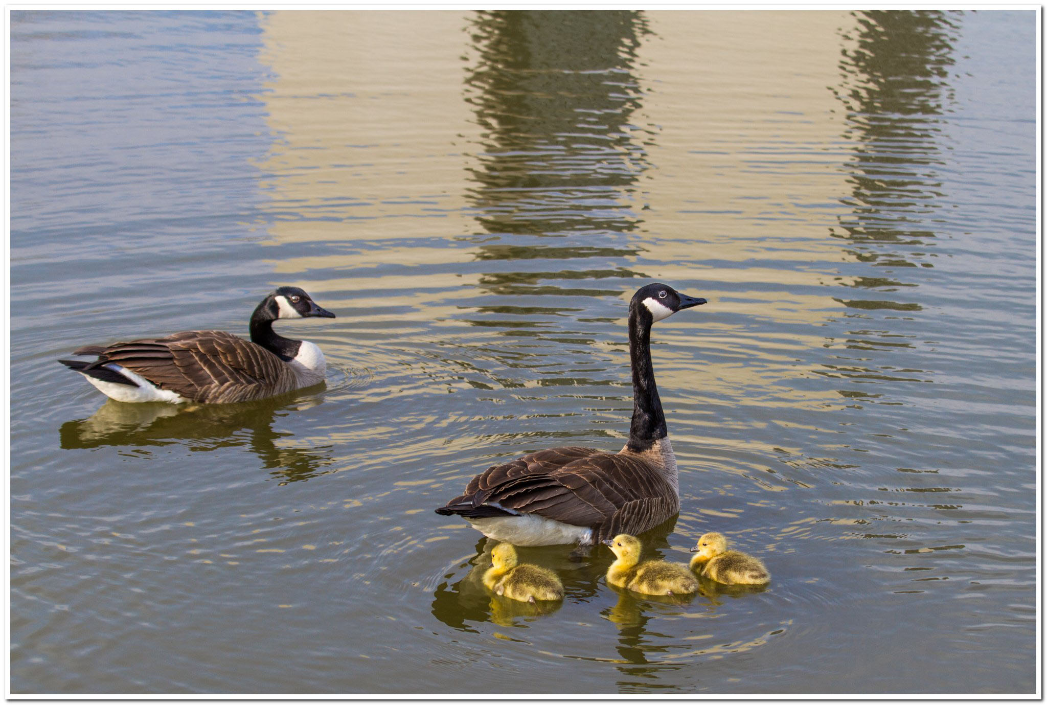 Mother goose and young create ripples in Wilson Hall's reflection. Photo: Elliott McCrory, AD