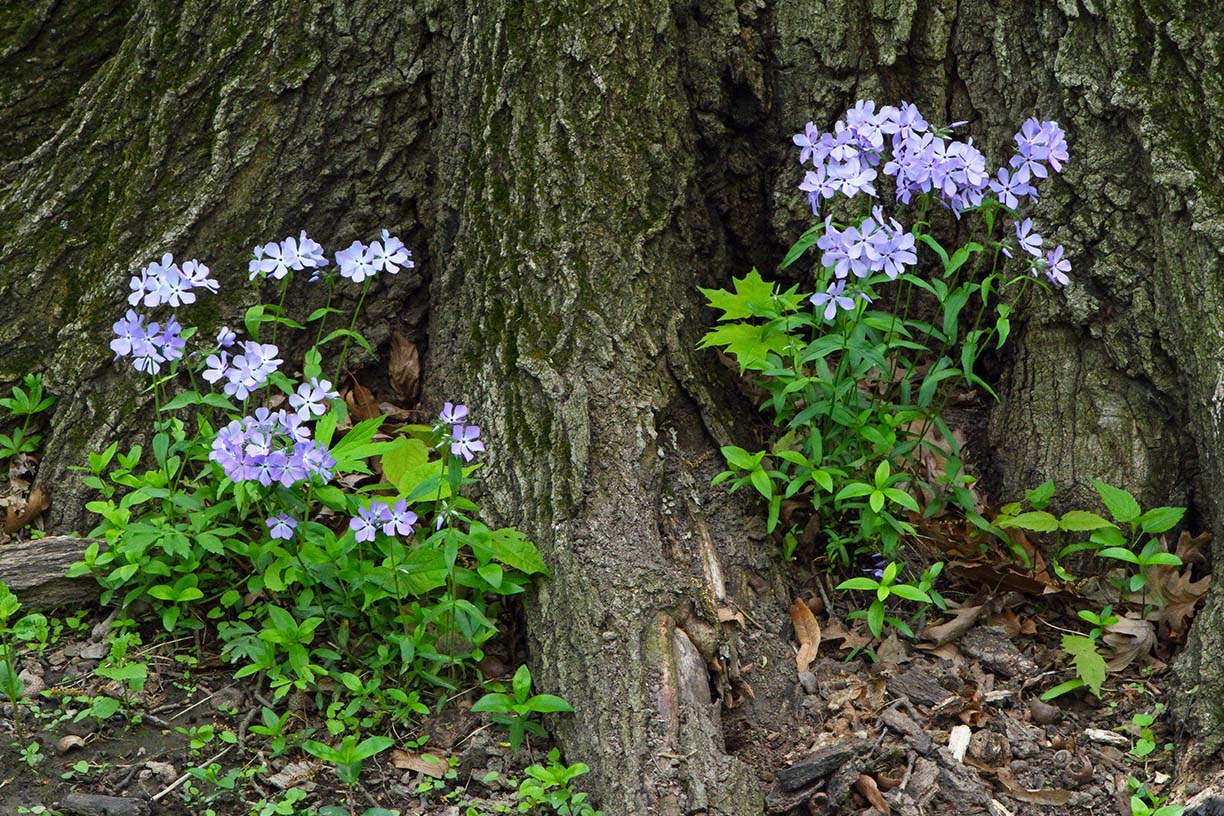 Woodland phlox blooms east of the large prairie along Kirk Road. Photo: Gordon Garcia, Bartlett, Illinois