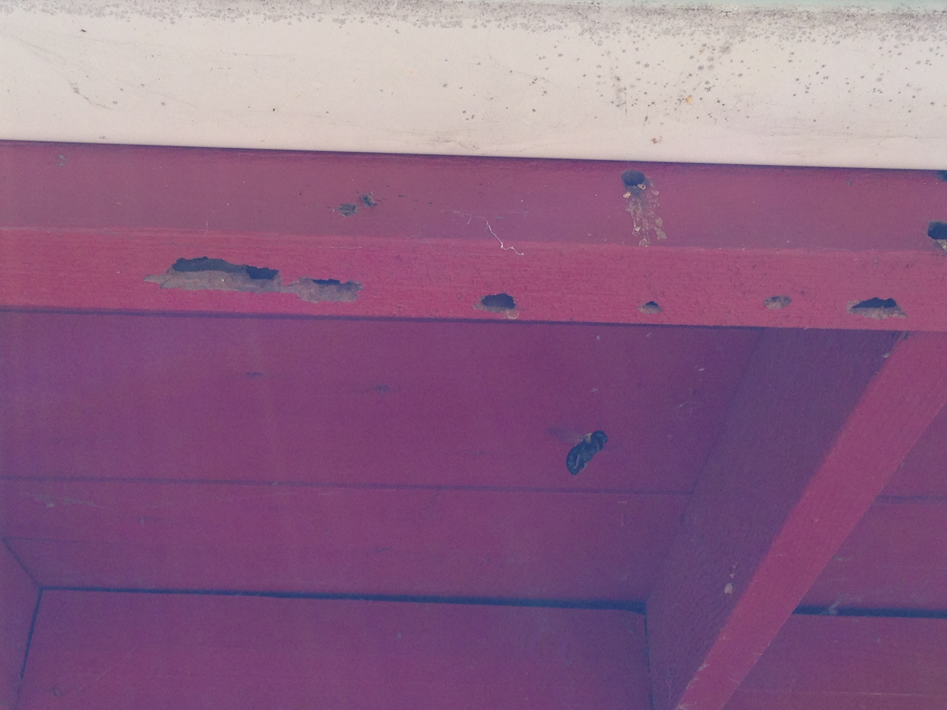 A carpenter bee is hard at work at Site 38.These bees are at other buildings on site as well. Photo: Dennis Loppnow, FESS