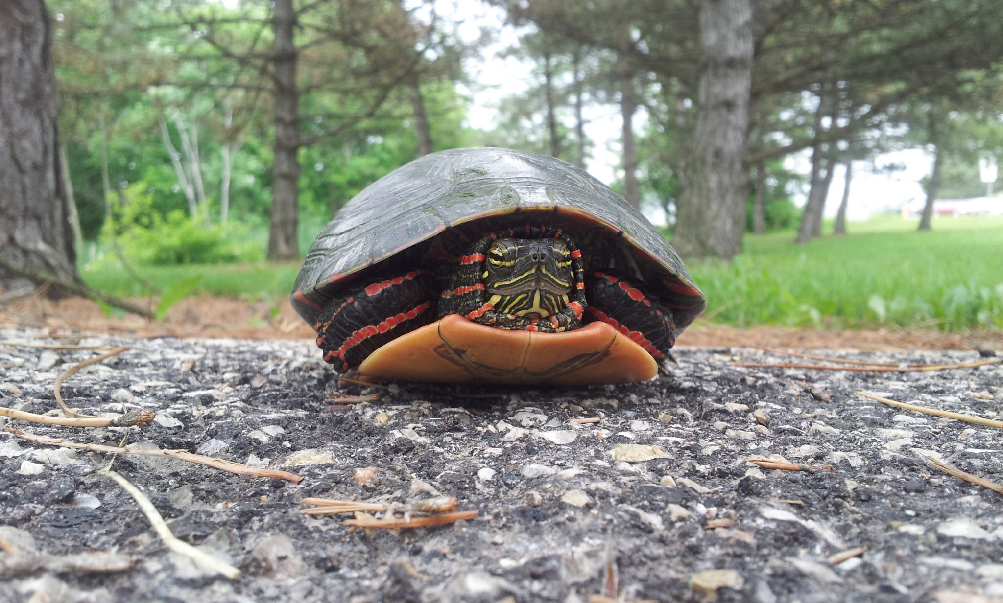 In these pages we've seen photos of a spiny softshell turtle and a snapping turtle. Now we feature this close-up of a painted turtle near the woods between Wilson Hall and Lederman Science Center. Photo: Sarah Fraser