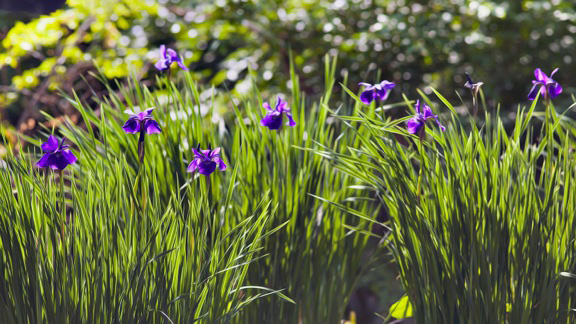Japanese irises catch the sunlight outside the Main Control Room. These lovely flowers serve as a testament to the Roads and Grounds crew, who work outside all day every day to make Fermilab beautiful. Photo: Marty Murphy, AD