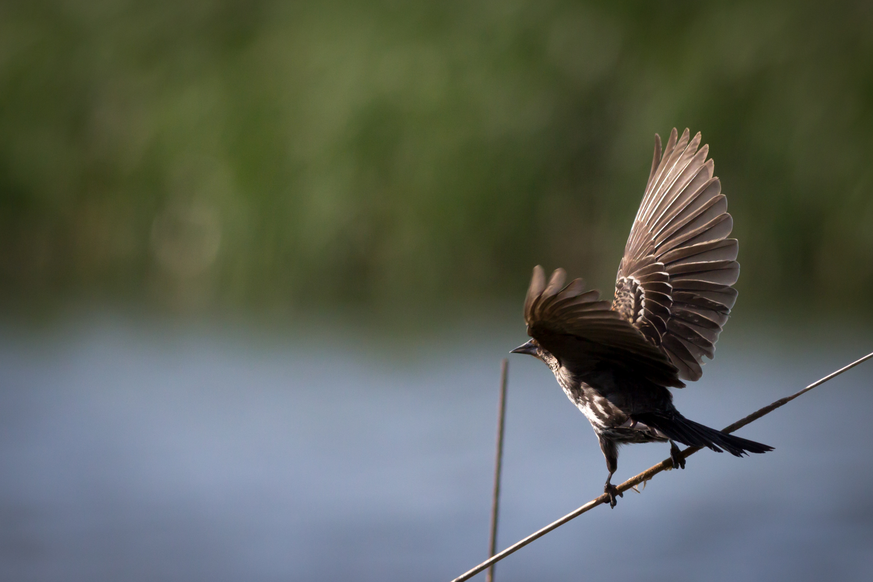 A female red-winged blackbird settles on a reed. Photo: Jesus Orduna, Rice University