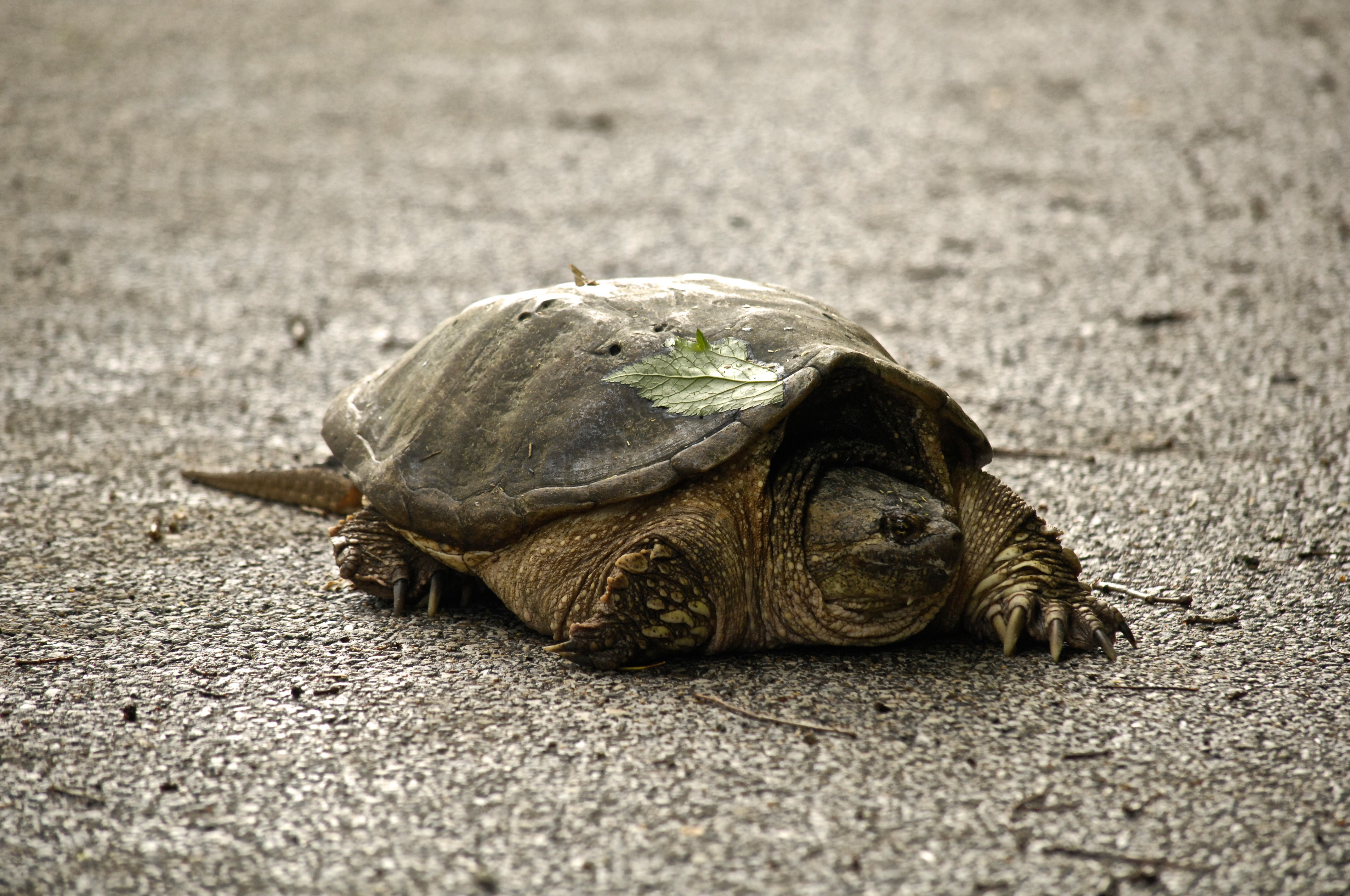 A snapping turtle crawls along Pine Street. Photo: Charles Orozco, TD