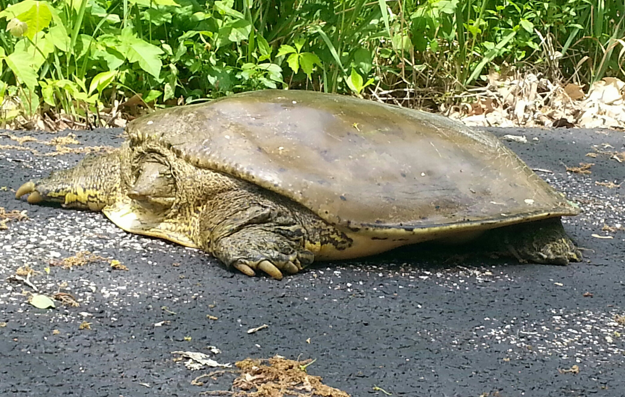 A spiny softshell turtle enjoys the sun's rays on the path to Feynman Computing Center. Photo: Jeff Artel, WDRS