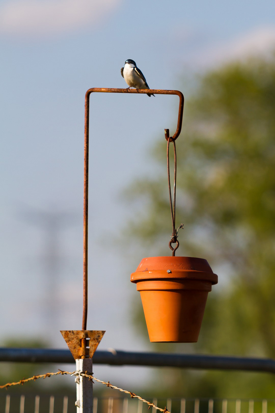 A tree swallow hangs out in the Fermilab Garden Club area on a birdhouse fashioned by Jim Wendt, gardener and retired Fermilab technician. Photo: Elliott McCrory, AD