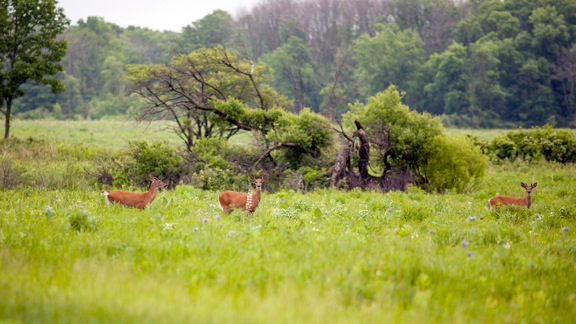 Two young bucks and a doe bound around the prairie in between lanes of Pine Street. Photo: Marty Murphy, AD