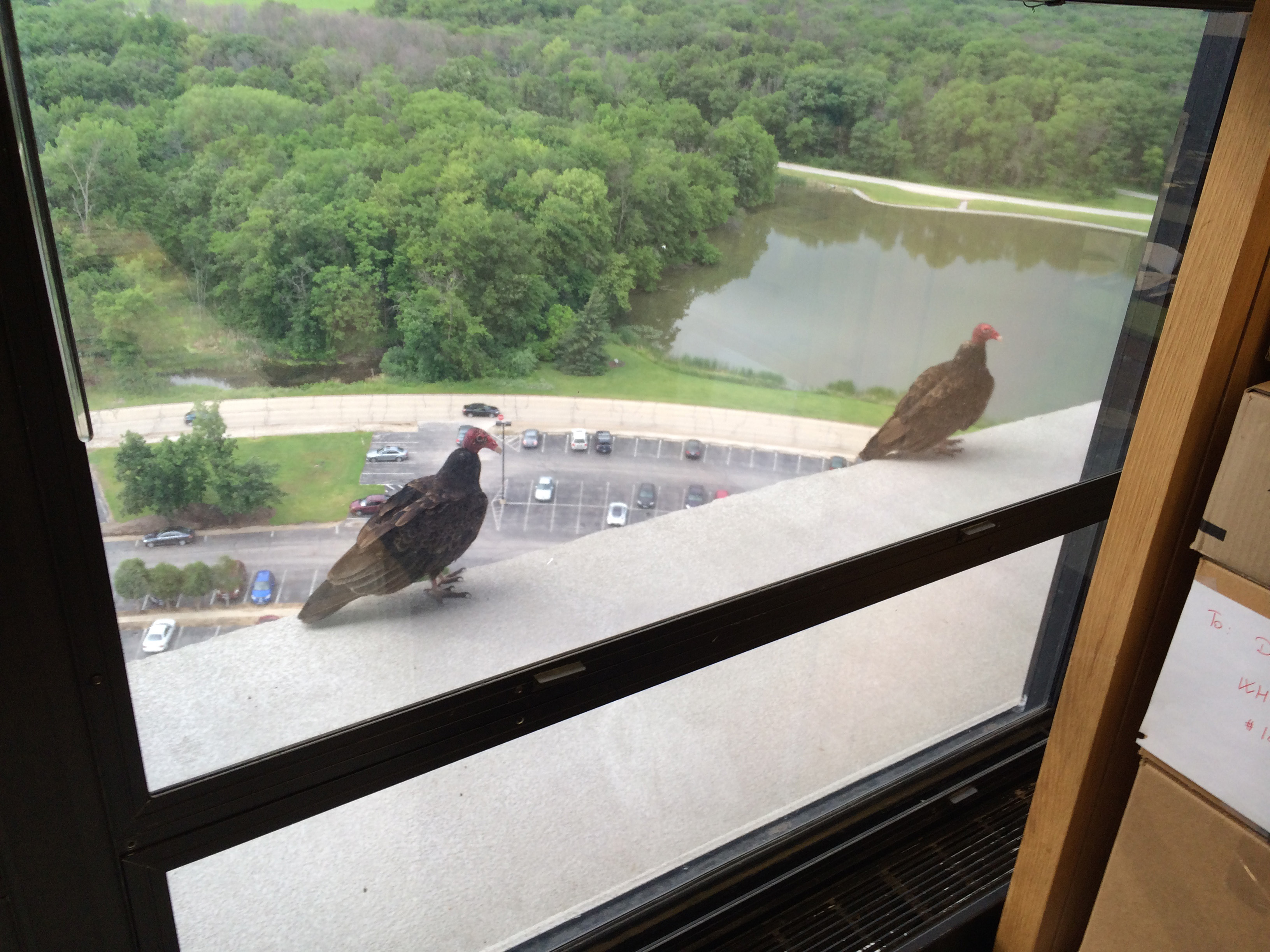 A pair of turkey vultures hangs out on the 14th-floor ledge. Photo: William Badgett, PPD
