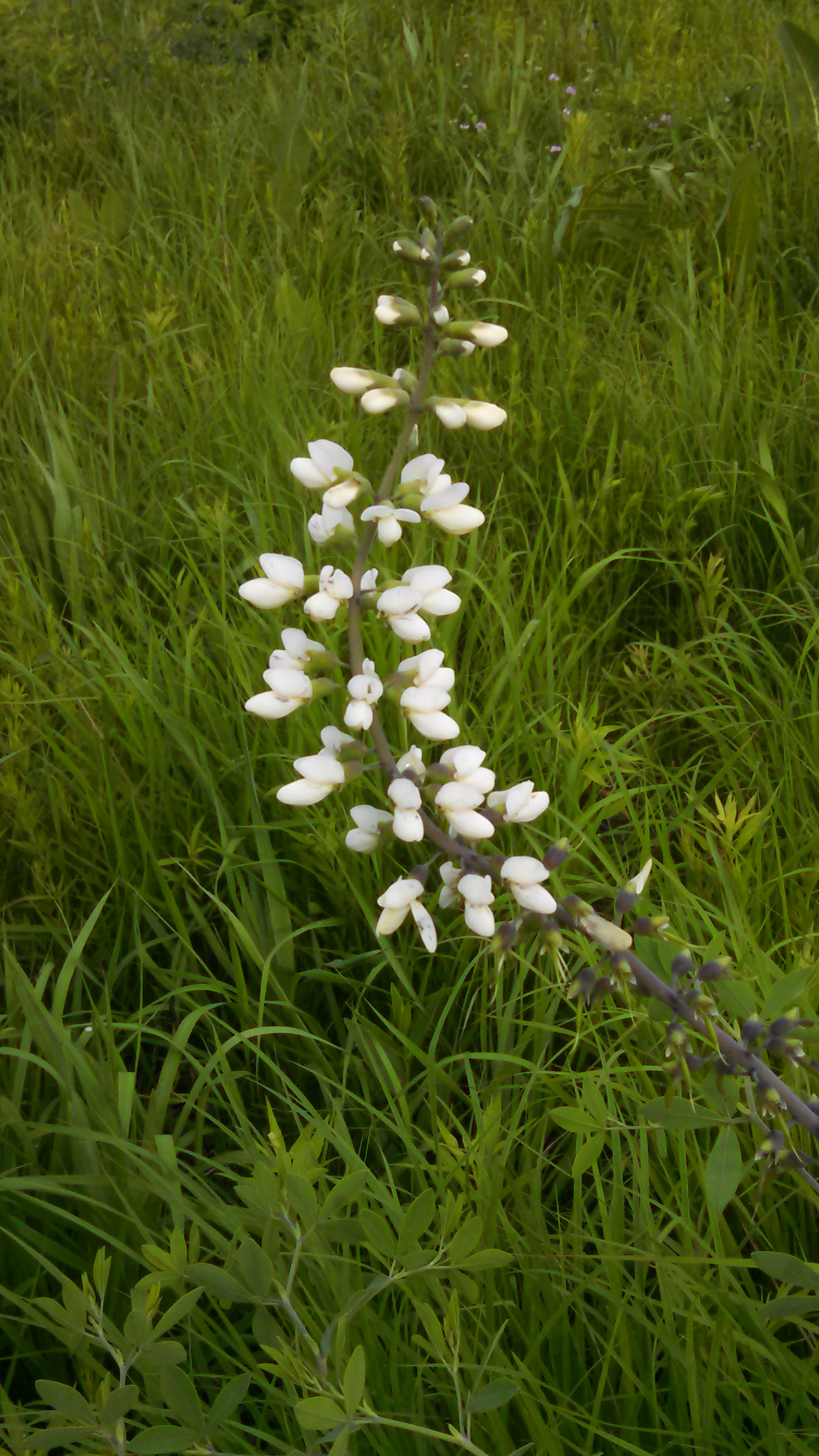 Baptisia stem recently bloomed on the Fermilab prairie. Photo: Barb Kristen, PPD