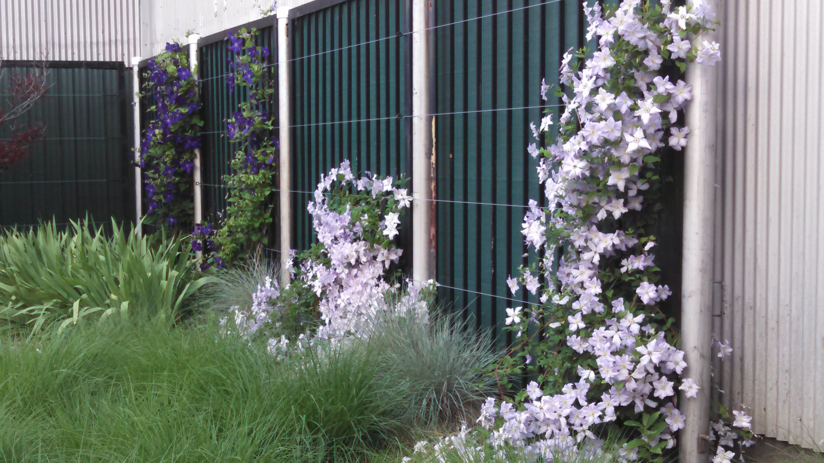 Blooming clematis vines climb the fence by the BEG buliding. Photo: Barb Kristen, PPD