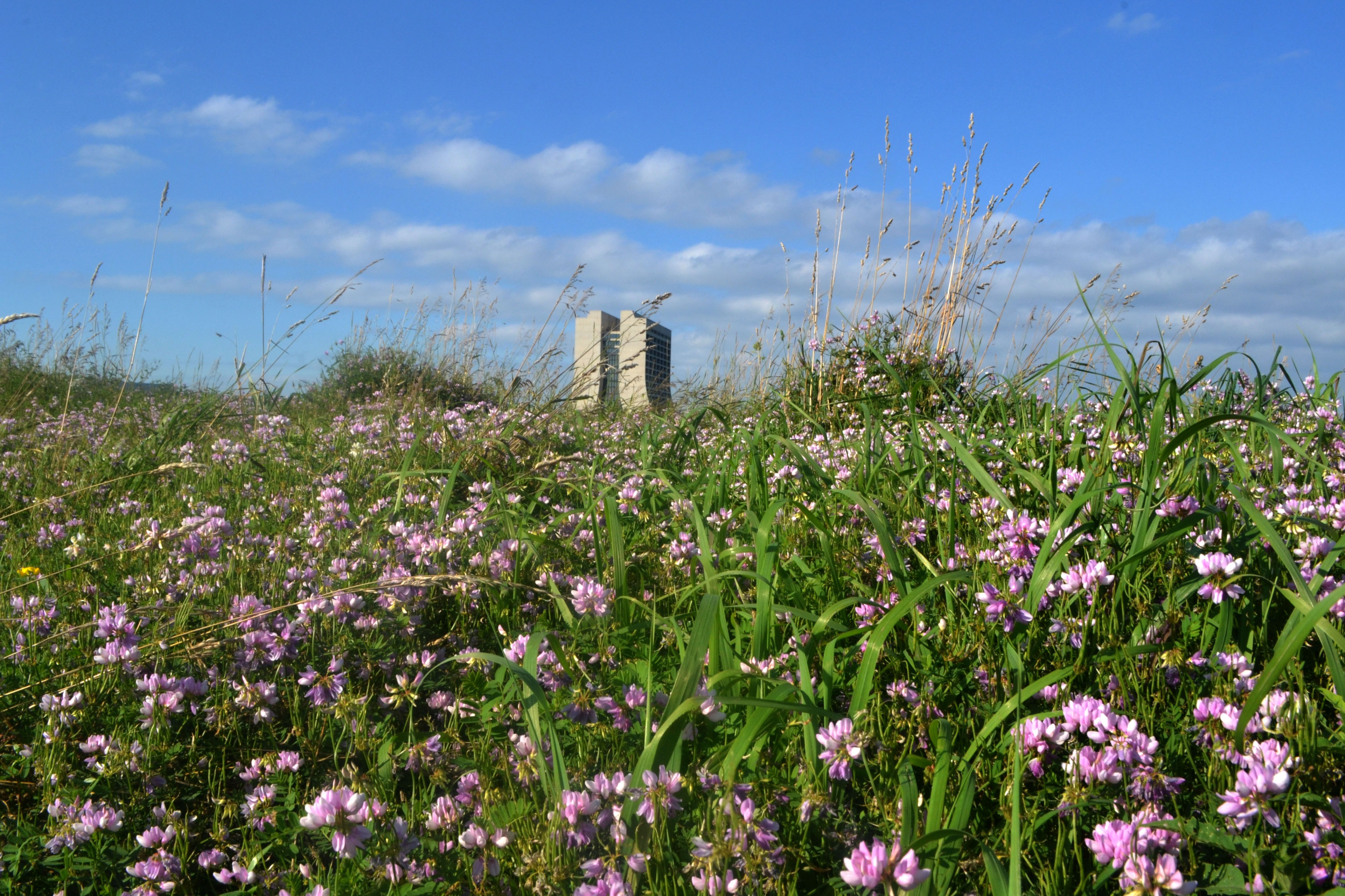 A field of crown vetch near M8 stretches far and wide behind Wilson Hall. Photo: Patrick Sheahan, AD