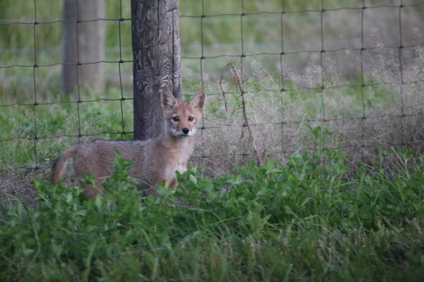 While local resident Paige Nussbaumer was visiting the Fermilab site with her family, she took this photo of a coyote pup. Photo: Paige Nussbaumer
