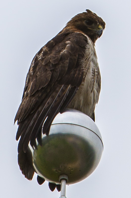 This hawk stood patiently on a flagpole last week during the MicroBooNE cryostat move. Photo: Cindy Arnold