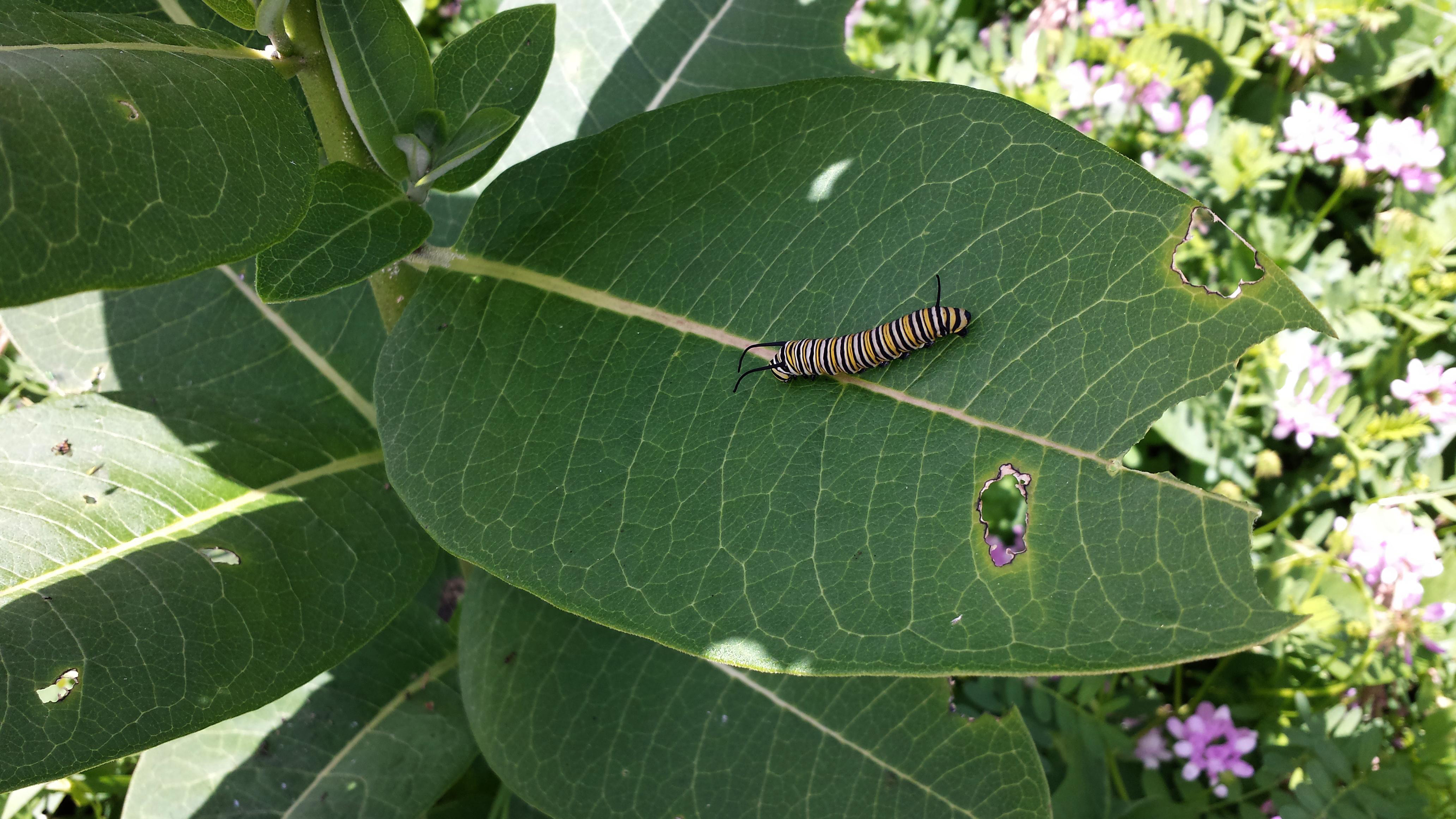 This adult monarch caterpillar, probably about one day from going into its chrysalis and turning into a butterfly, was spotted along Eola Road. It was roughly 2 inches long and as big around as a pencil. Photo: Greg Cisko, CCD