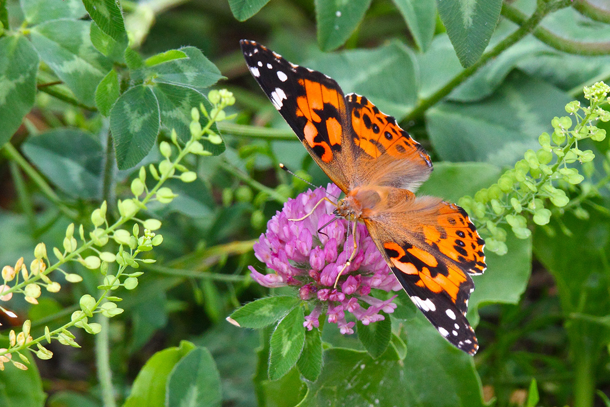 A painted lady butterfly alights on a flower on the hiking path by Lake Law. Photo: Gordon Garcia, Bartlett, Illinois