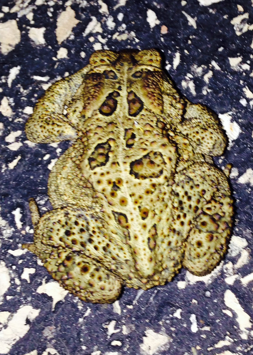 This American toad was spotted one evening last week on Main Ring Road. Photo: Glenn Vallone, ESH&Q