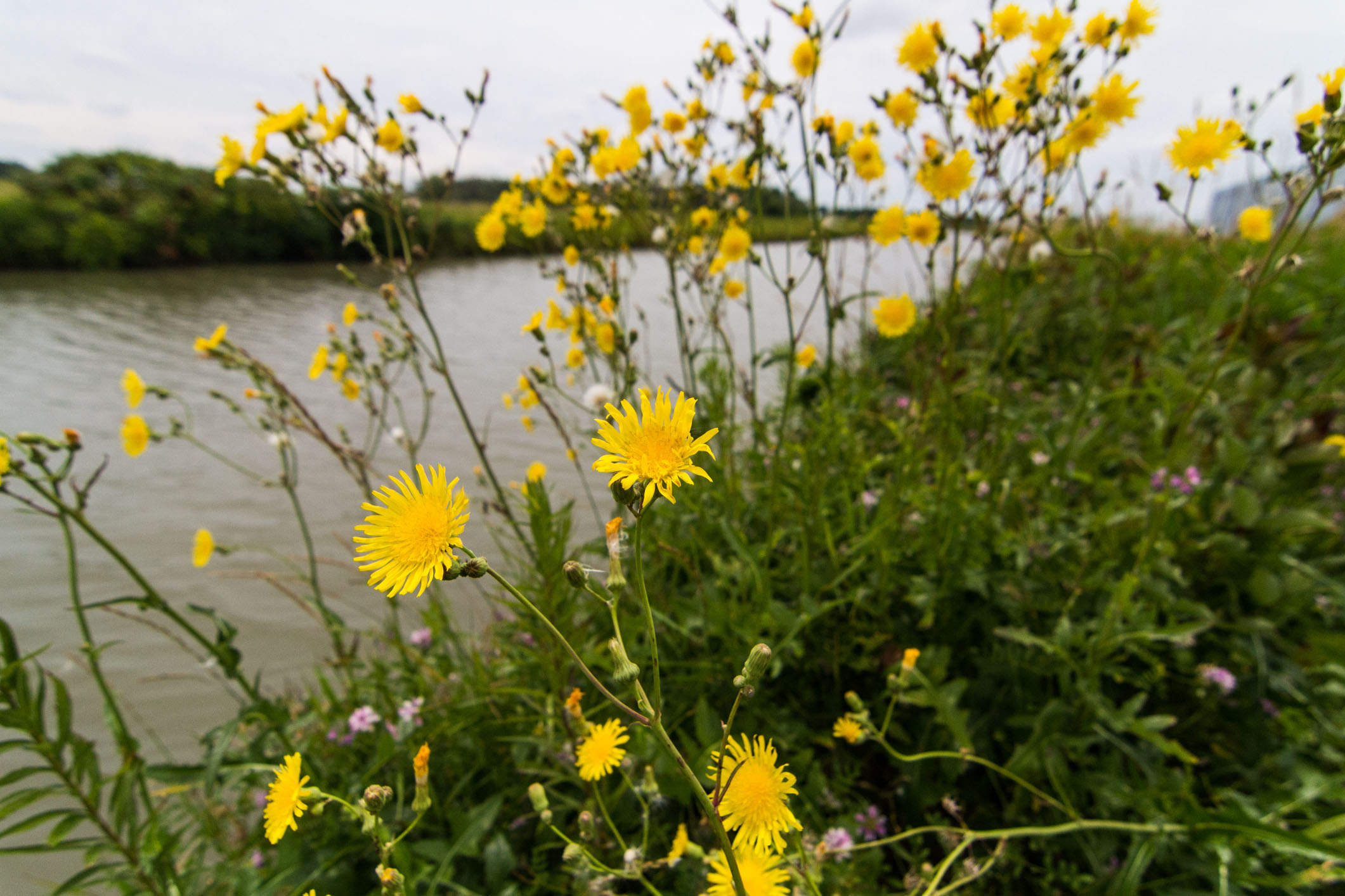 Wildflowers spring from near edge of the cooling pond opposite the AZero parking lot. Photo: Elliott McCrory, AD