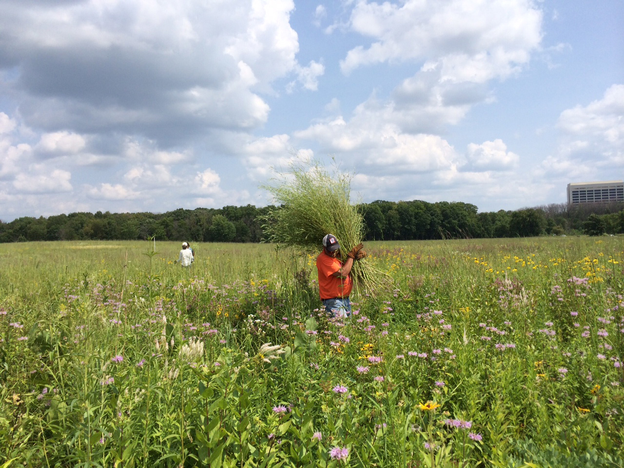 Fermilab Natural Areas volunteer Dave Giese recently helped remove white sweet clover, an invasive species, from the Interpretive Trail prairie. Photo: Patsy Hirsch. Fermilab Natural Areas volunteer
