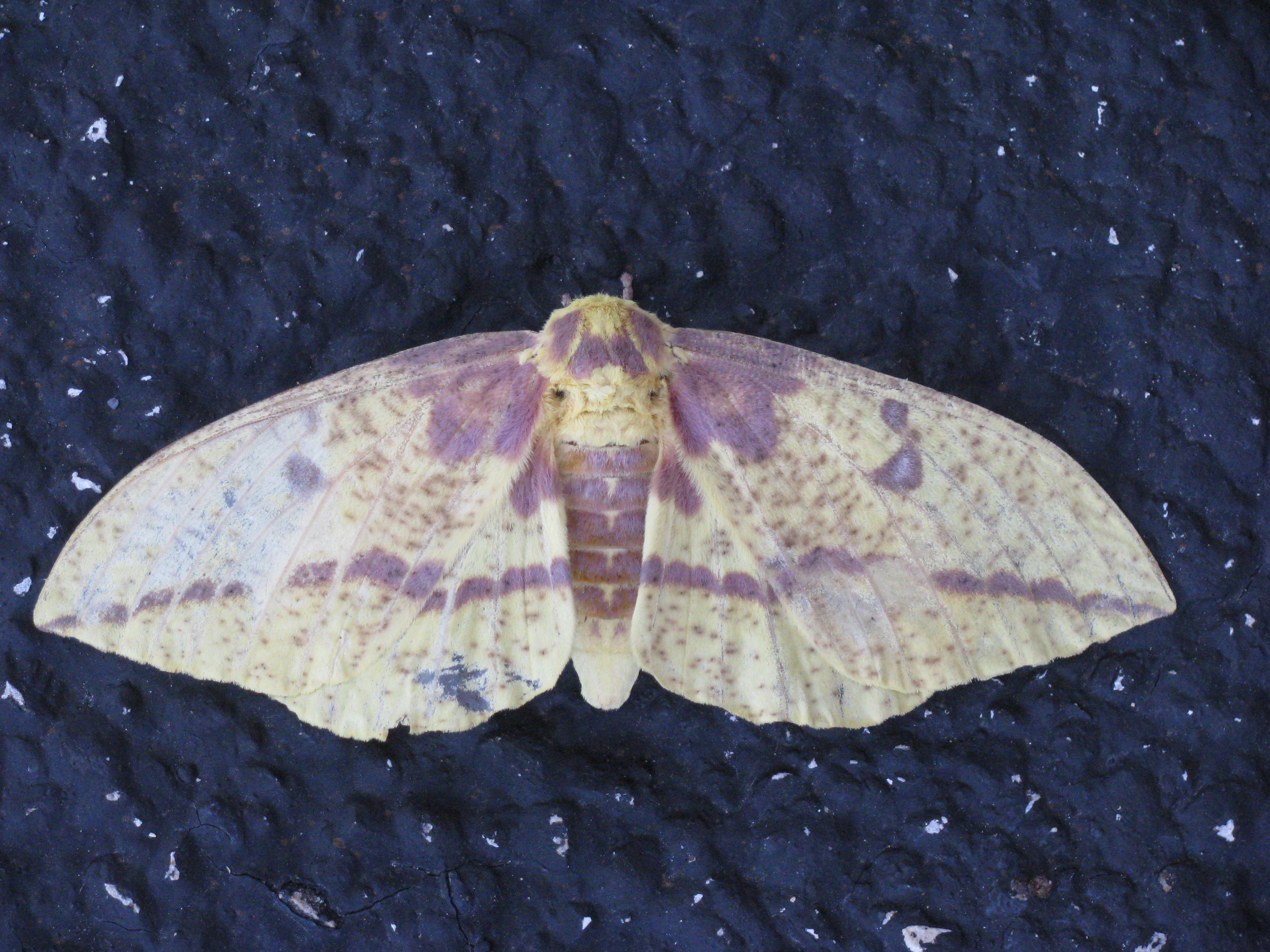 An imperial moth rests on the road by the Carpenter's Shop. Photo: Sue Quarto, FESS