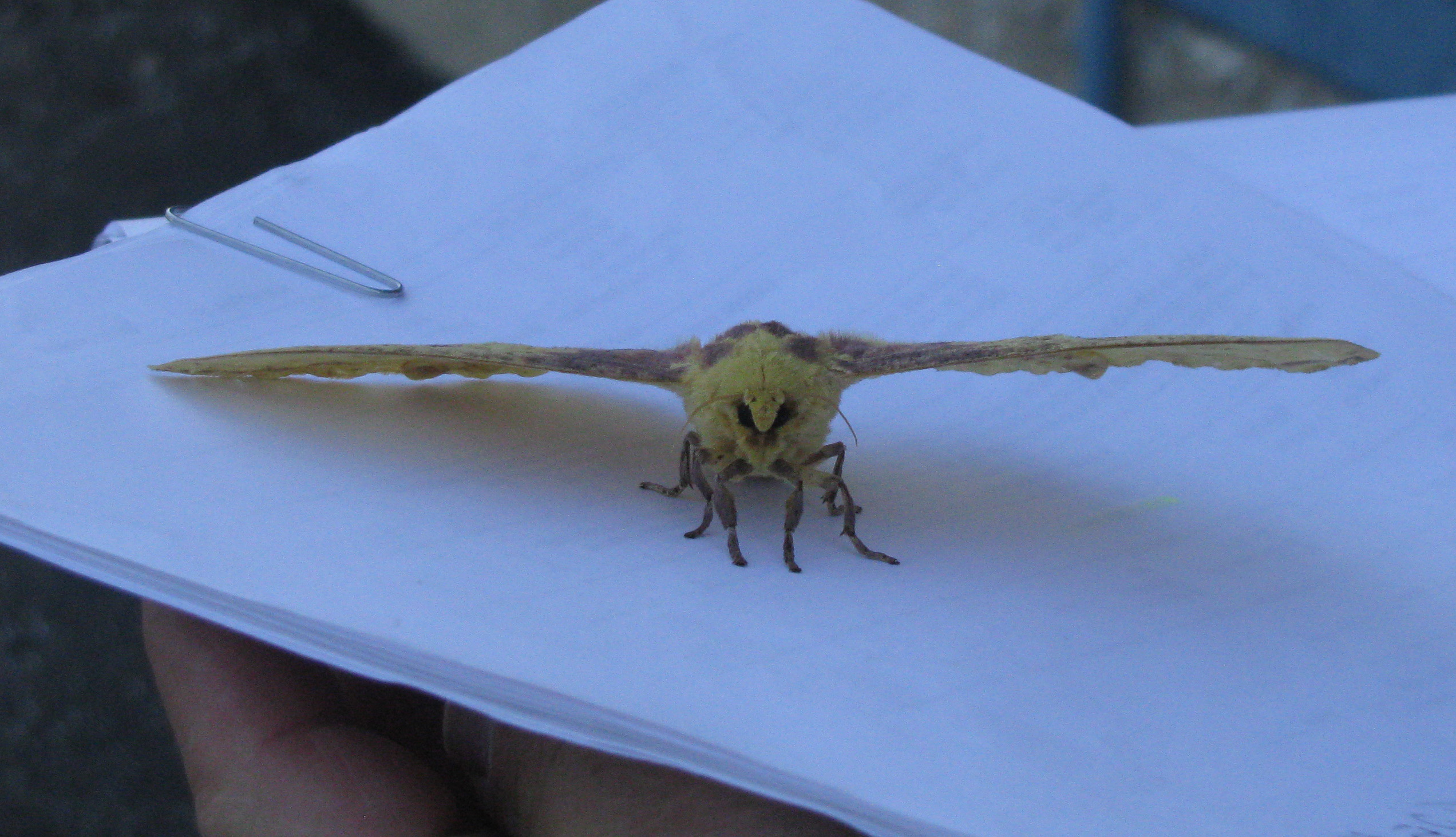 A kindly Fermilab staff member moves the moth out of harm's way. Photo: Sue Quarto, FESS
