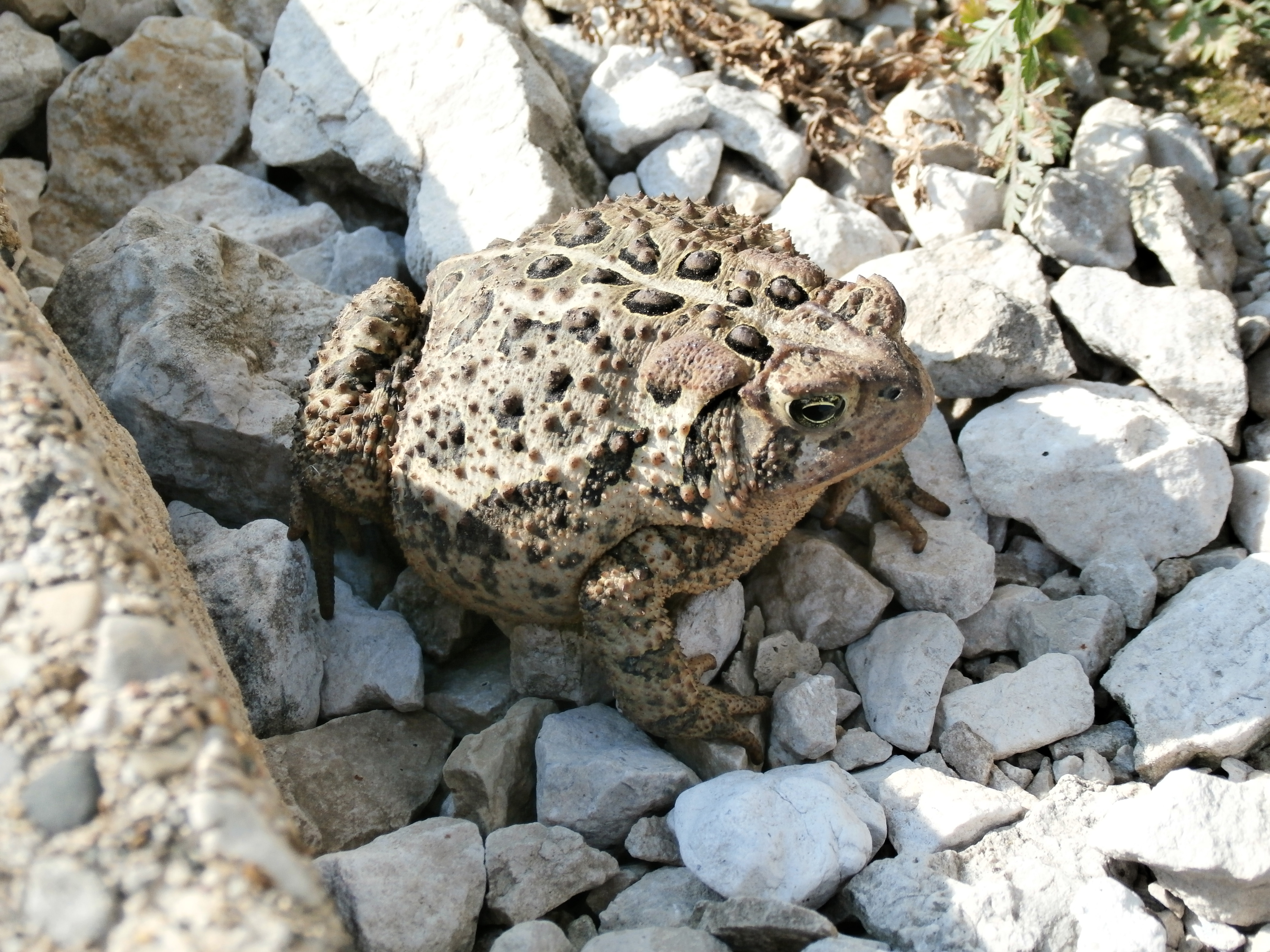 An American toad settles on the rocks by MI-62. Photo: Jamie Clemons, AD