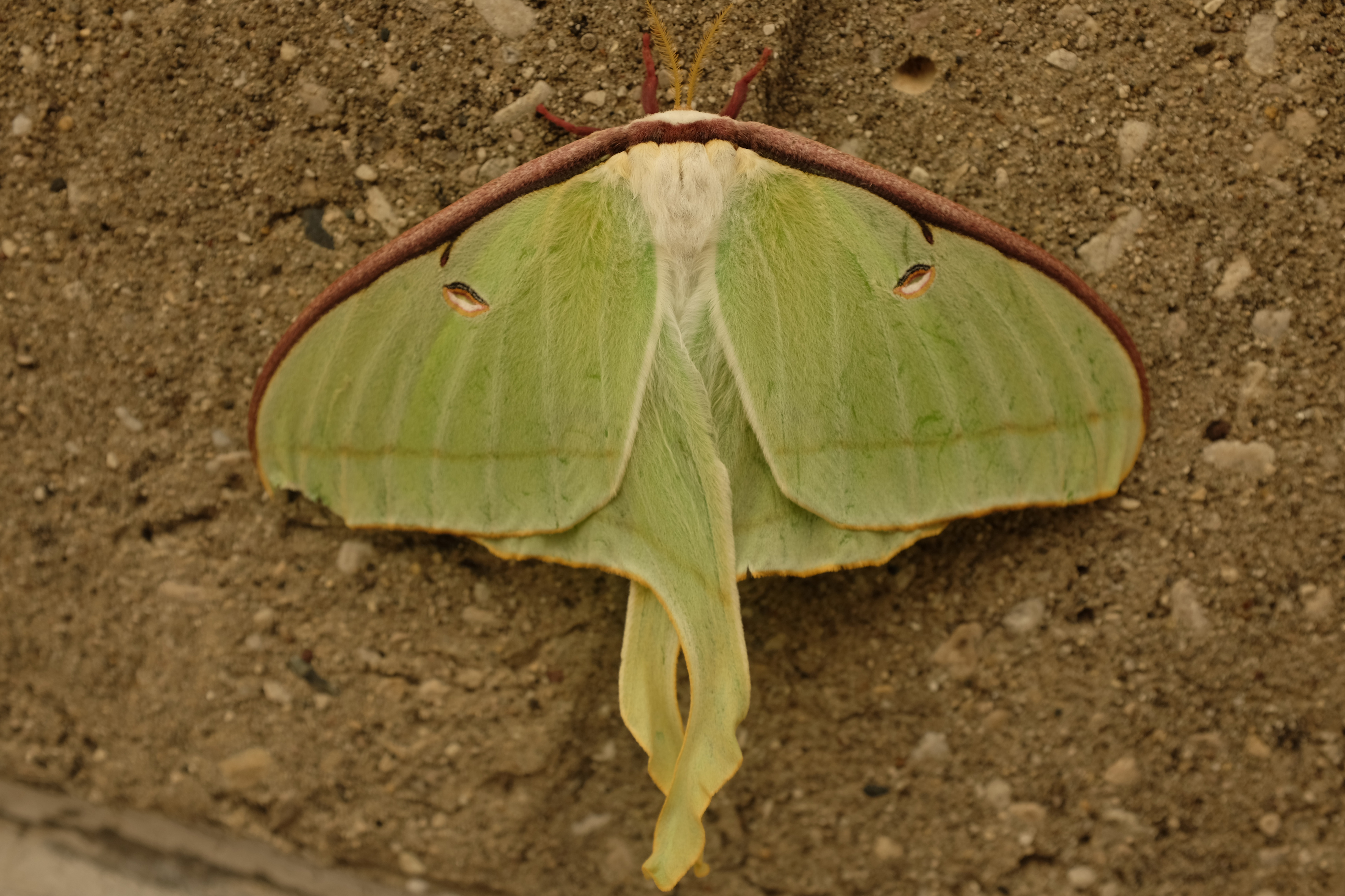 A luna moth settles on a wall outside the linac gallery. Photo: Kerbie Reader, AD