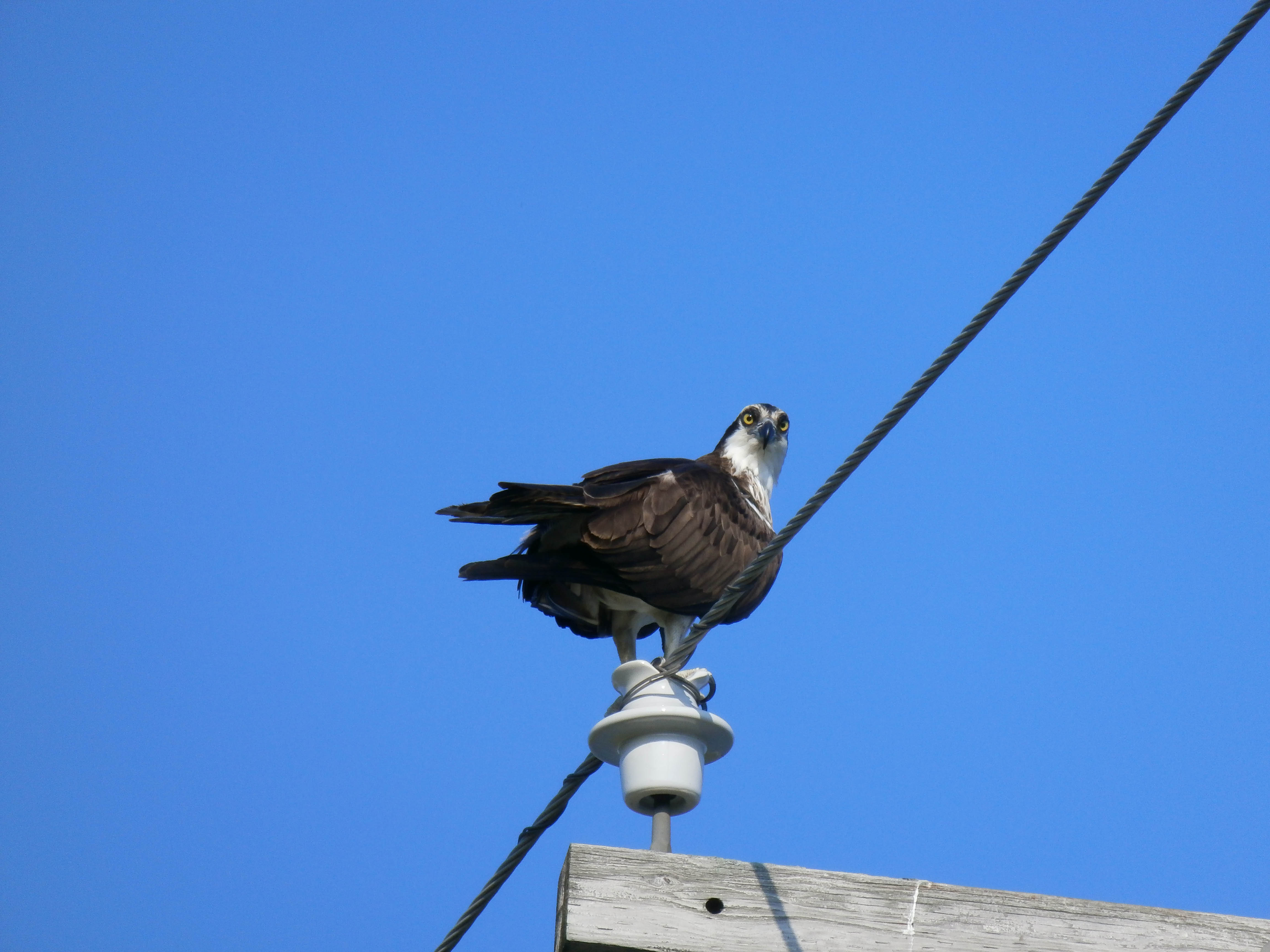 An osprey stands alert on a power pole at MI-10. Photo: Jamie Clemons, AD