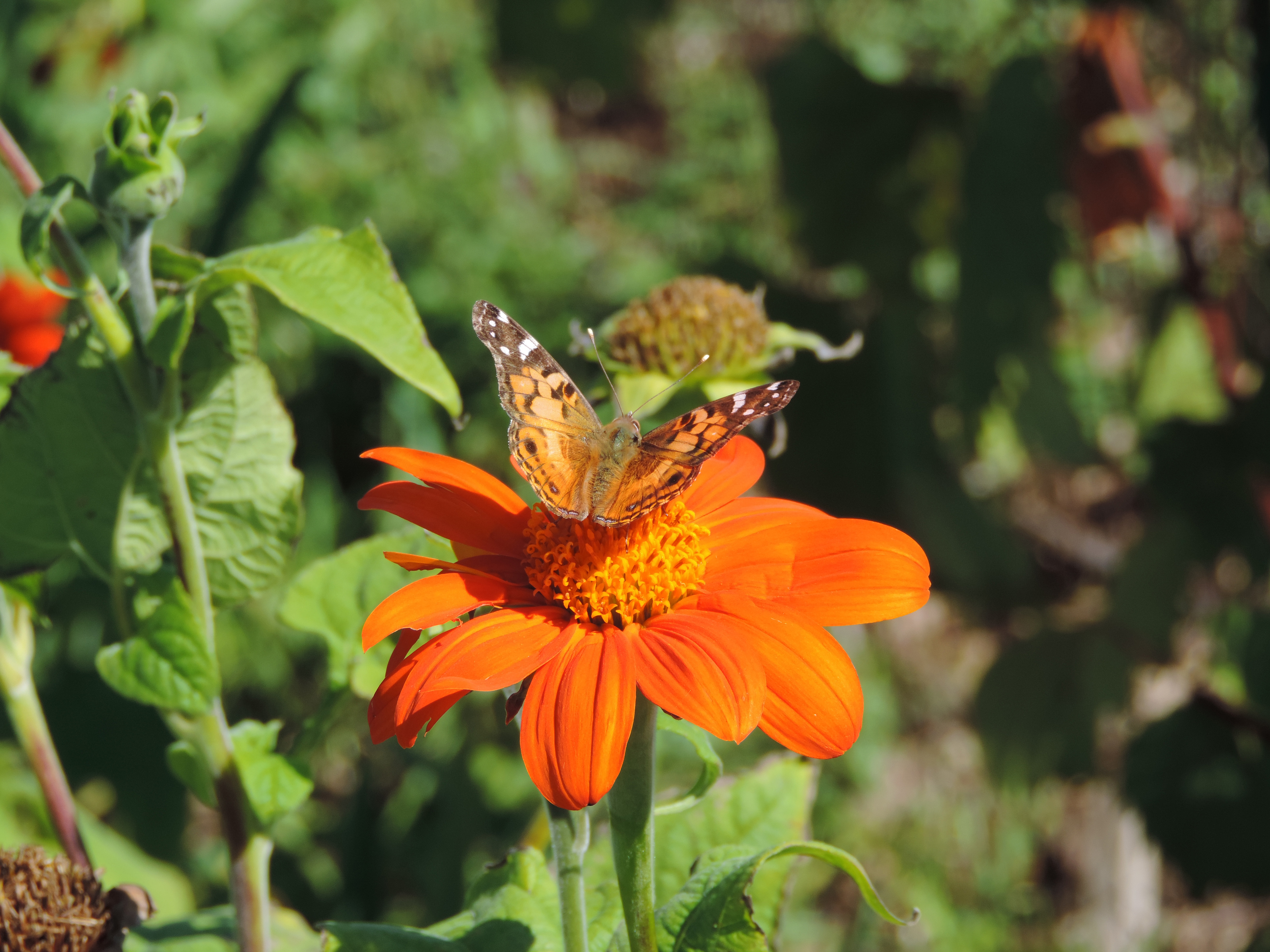 On the first day of fall, an American lady butterfly sits atop a Mexican torch sunflower in the Fermilab Garden Club plot. Photo: Julianna Holden Mohler