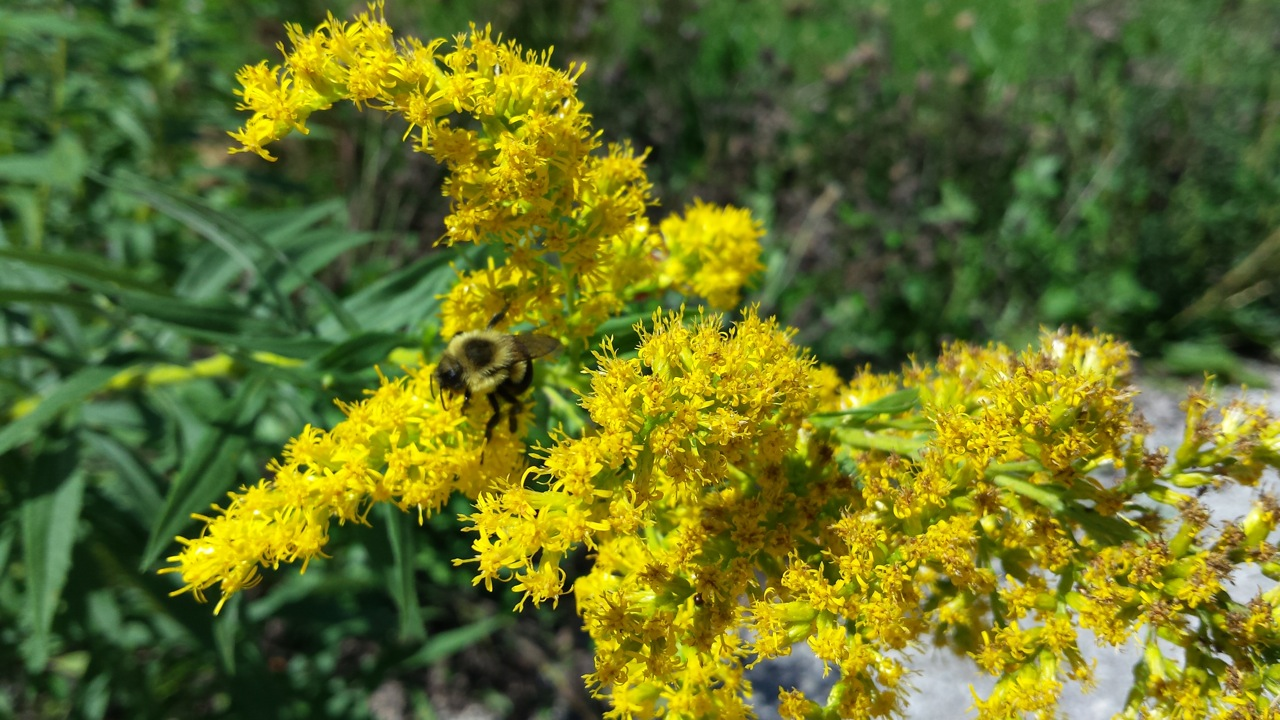 A bee alights on some tall goldenrod near the Lederman Science Center. Photo: Lauren Biron, Office of Communication