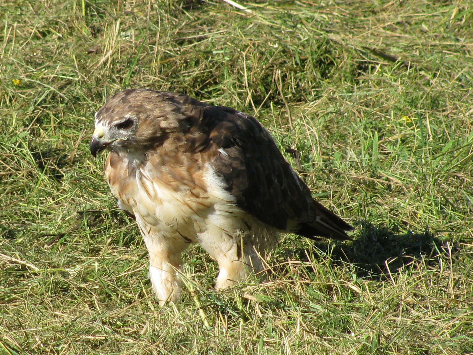 A hawk looks for lunch on the freshly mowed berm near Booster Tower West. Photo: Brian Drendel, AD