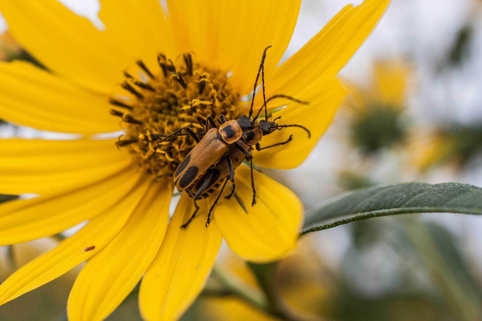 soldier-beetles